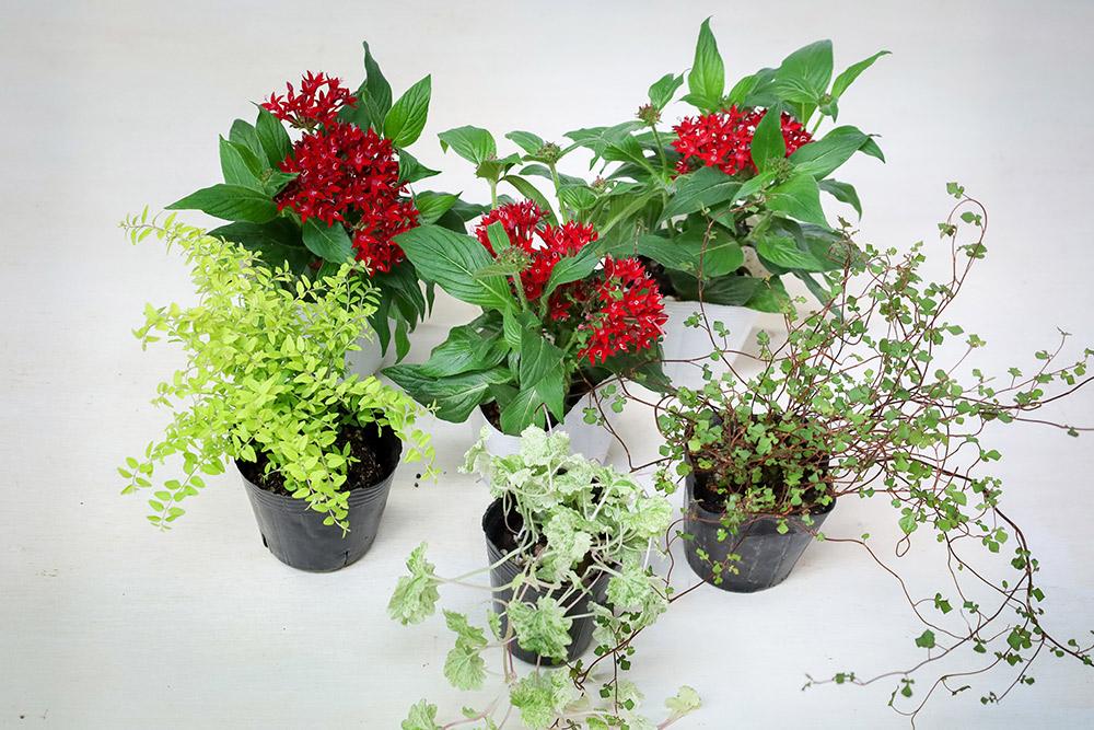 寄せ植えに使う花