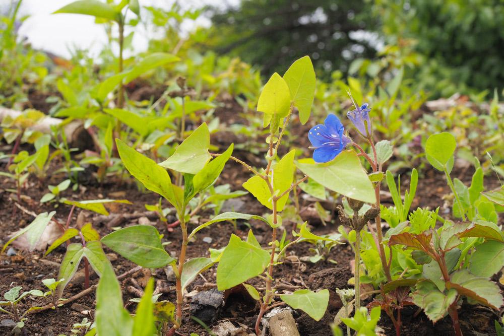 ブルーの「ファセリア」が咲きました