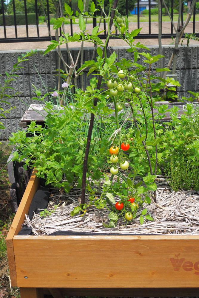 ベジトラグも順調!今年はミニトマトを植えました