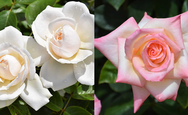 ダイアナ妃のバラ