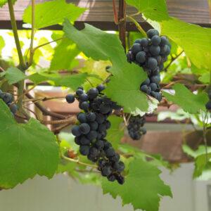 豊作です♪ ヤマブドウを収穫してジャムを作りました!「花音の森」レポ Vol.9