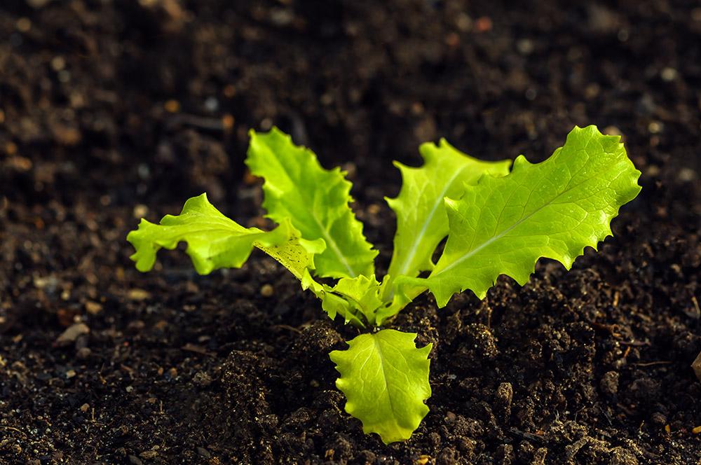 レタス栽培