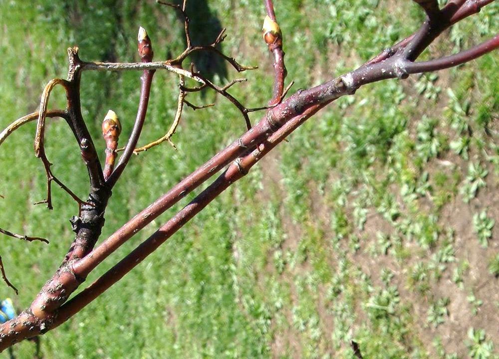 長枝と短枝