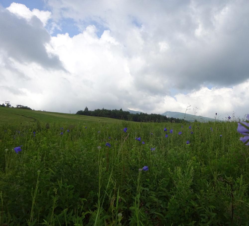 絶滅危惧種のキキョウが咲き乱れる菅平高原ダボスの丘