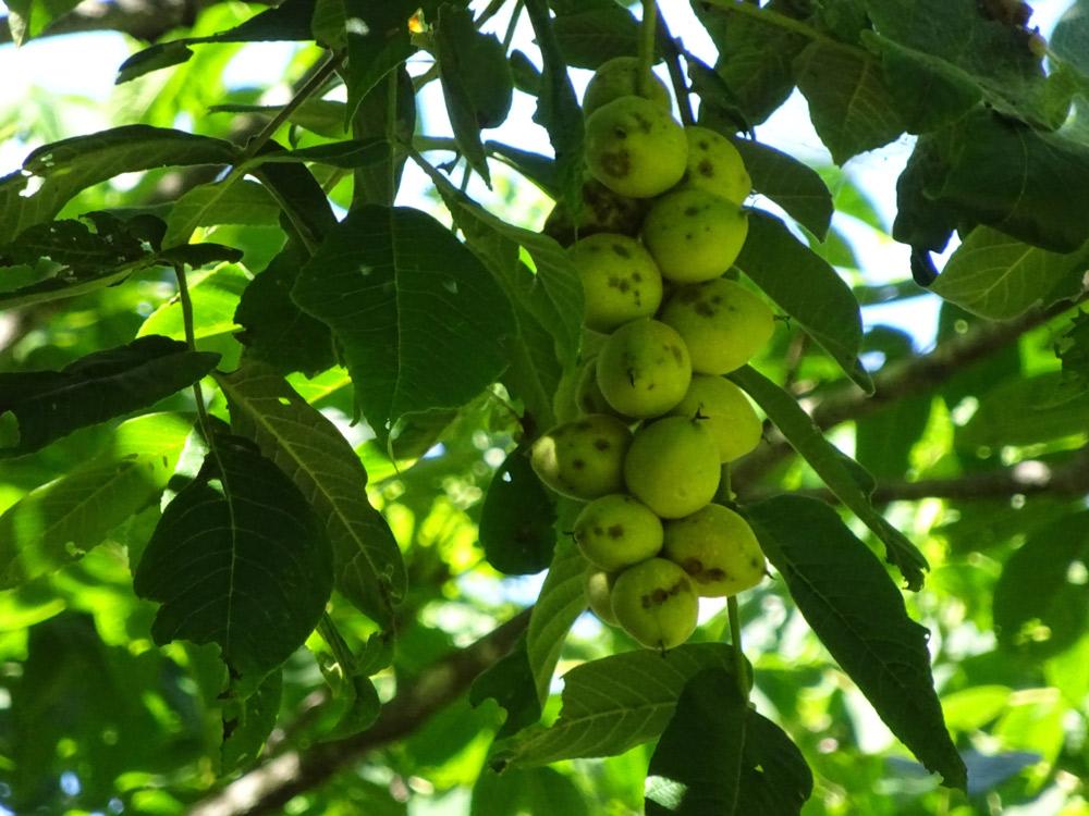 黄色い黄葉と同時に実を落とし始める