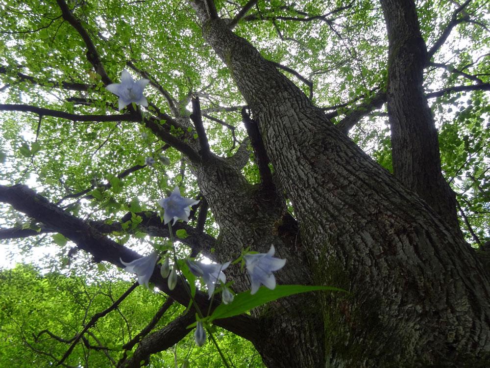 じっと佇む大明神沢トレイルコースのシンボルツリーシナノキ巨木