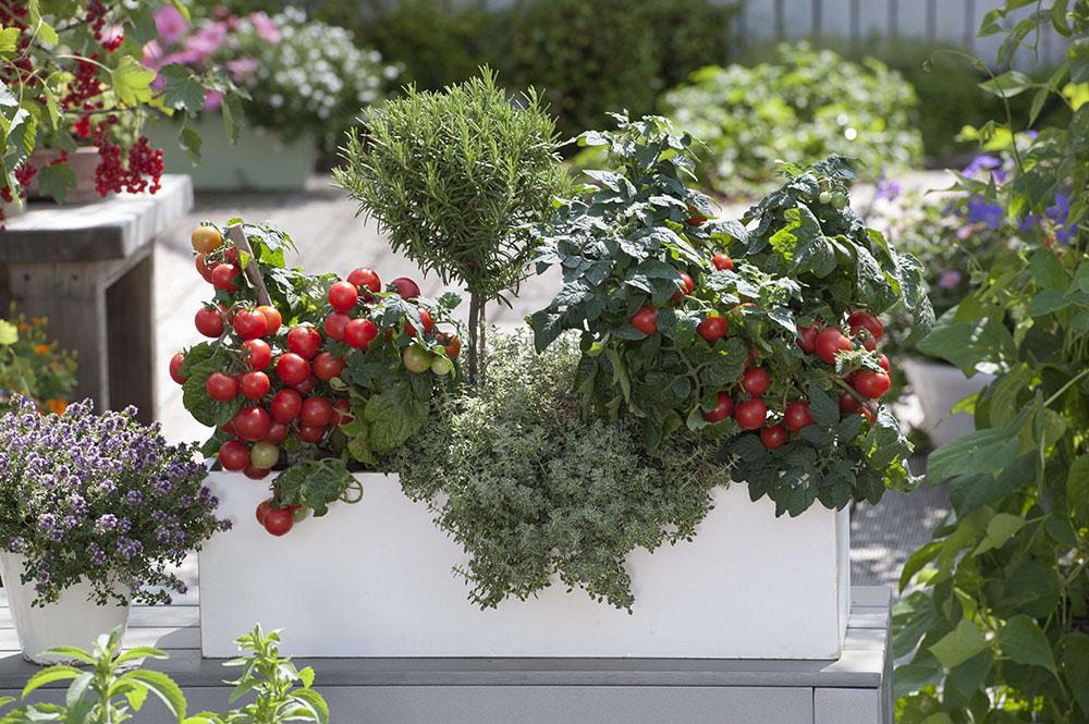 トマトの鉢植え