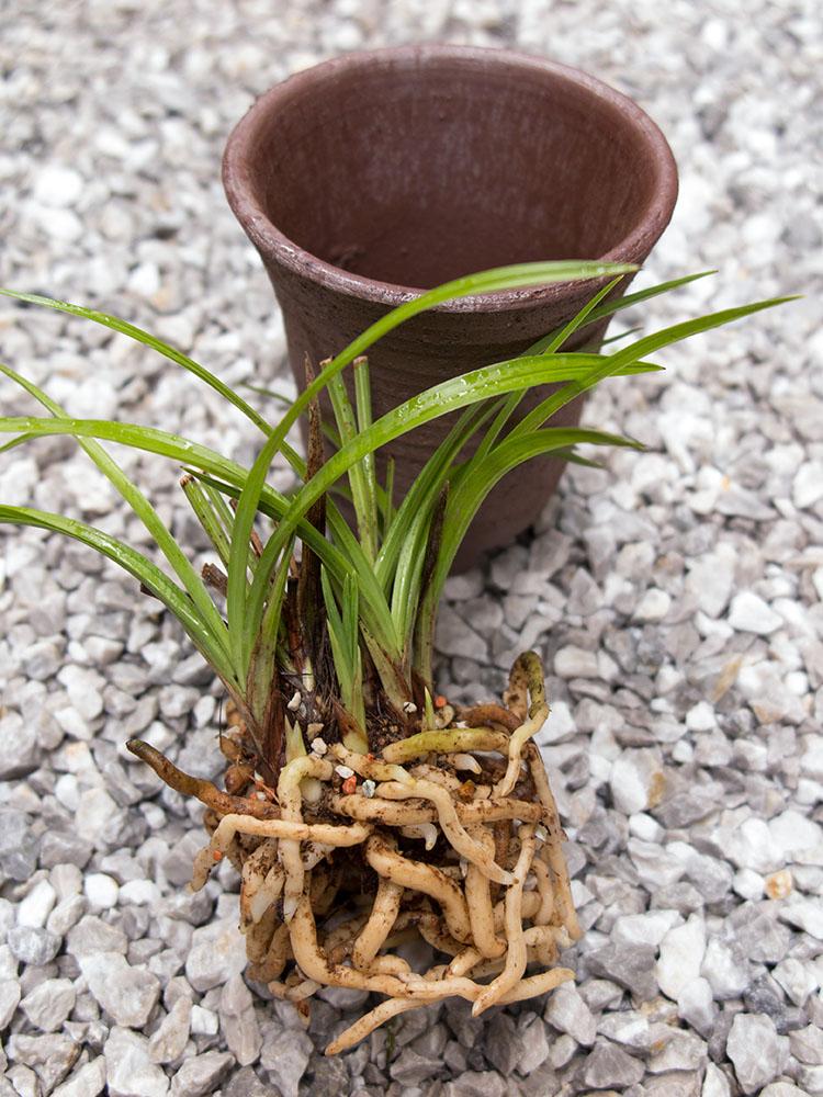 春蘭の鉢植え