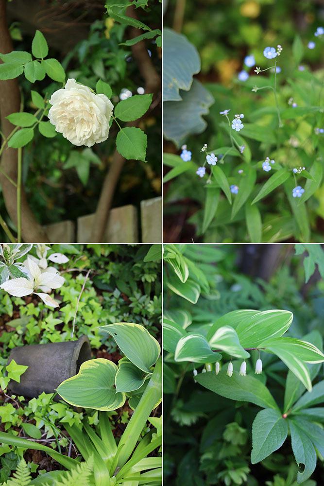 ルーシーグレイの植栽