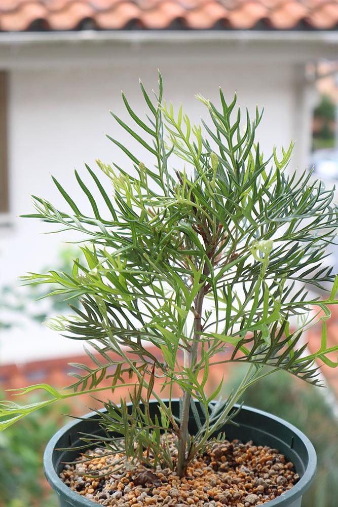 グレヴィレアの取り木
