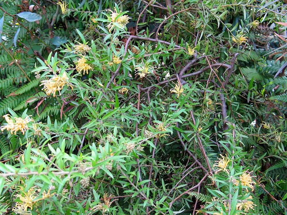 匍匐性があるグレビレア・カンタベリーゴールド。