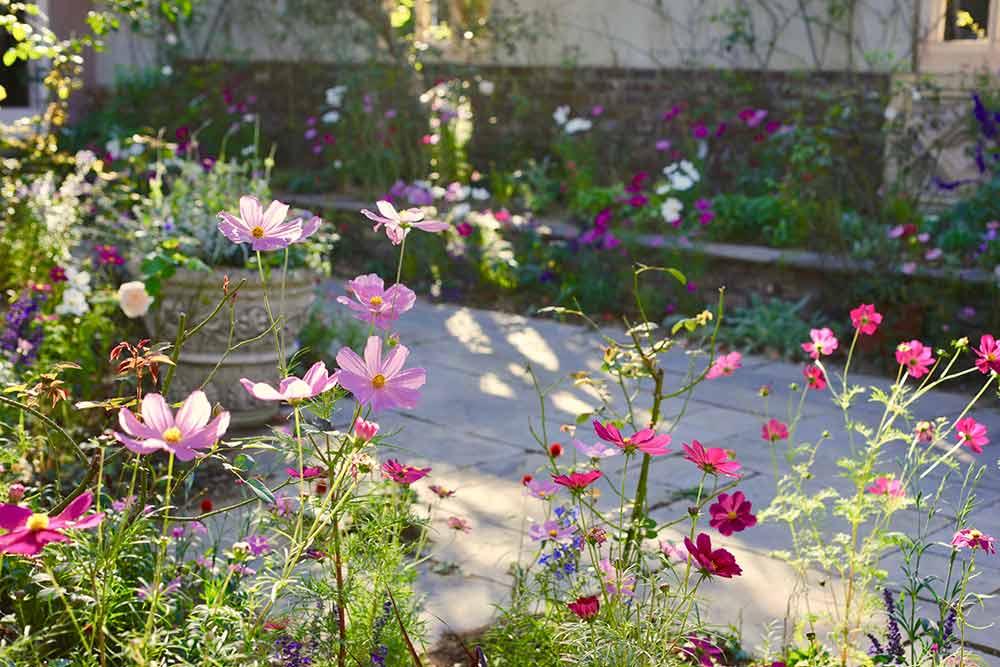 コスモスの庭